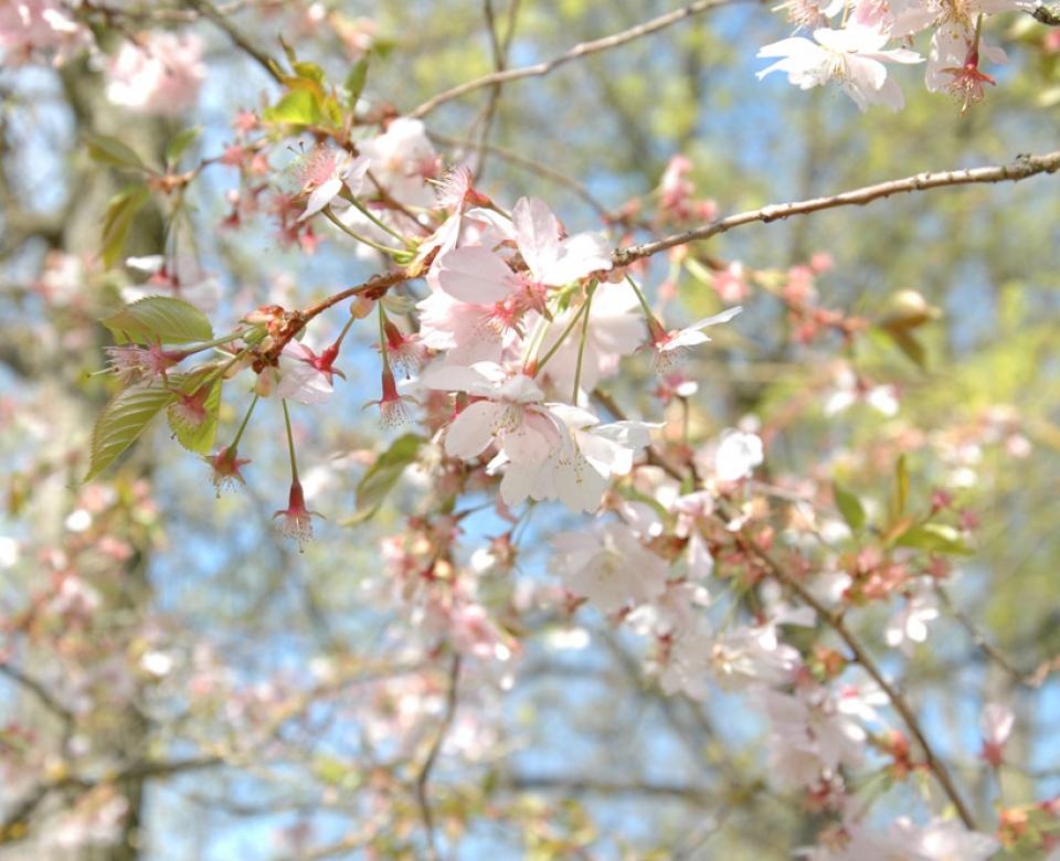 Natur Kirschblüten Frühling